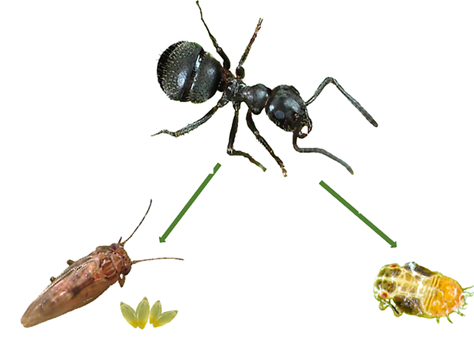 همیاری پسیل پسته و مورچه