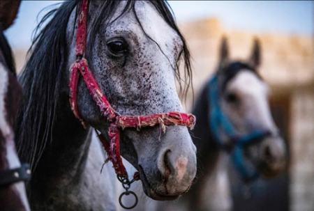 عکس های روز ازجشنواره آیینی گانش چاتورتی تا اسب های اصیل نژاد عرب horse